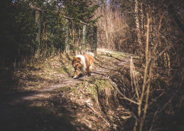 collie spacer, owczarek szkocki